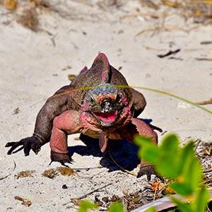 Iguana on beach in the Exumas, Bahamas