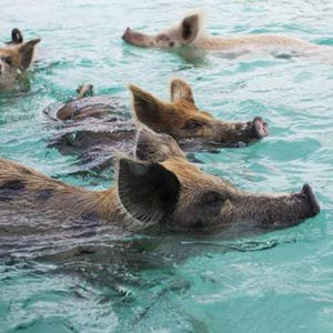 Swimming pigs in the Exuma Cays